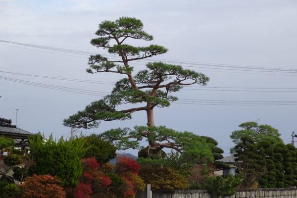 2階の屋根よりも高い!一関市花泉町の赤松の剪定作業